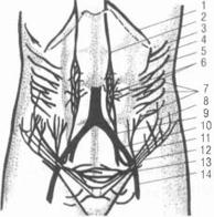 кровоснабжение передней брюшной стенки