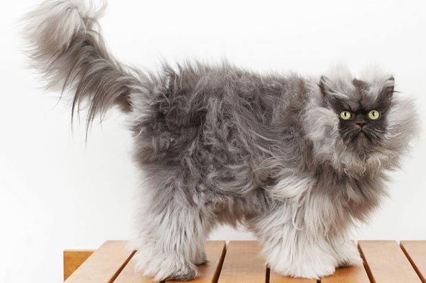 самый пушистый в мире кот фото