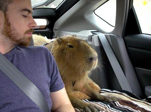 капибара в машине фото