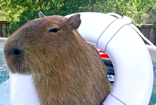 http://happylady.su/wp-content/uploads/2013/08/capybara-in-pool-photo.jpg