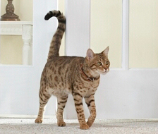 кошачий язык хвост фото