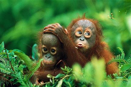 Индонезия остров Калимантан Национальный парк Tanjung фото орангутангов
