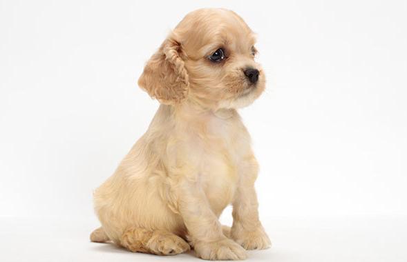 щенок кокер – спаниеля фото