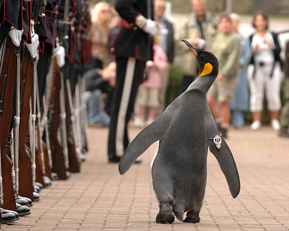 питомец пингвин