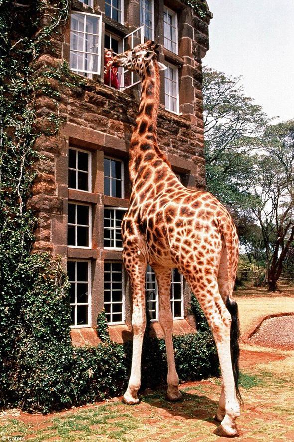 питомцы жирафы