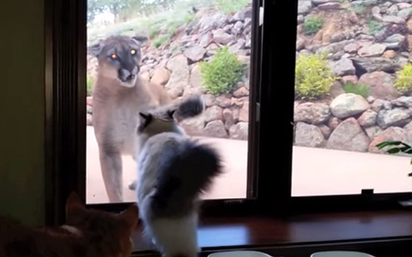две кошки дикая и домашняя