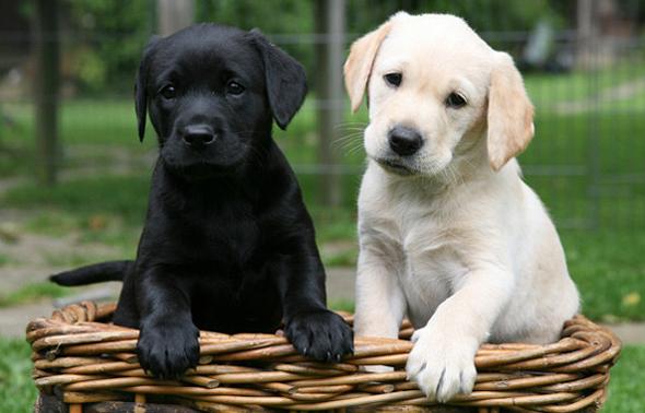 фото собака лабрадор